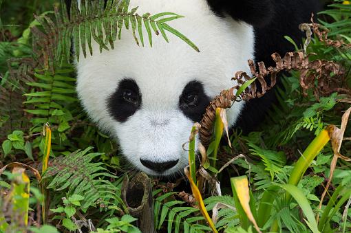 パンダ「Giant Panda」:スマホ壁紙(1)