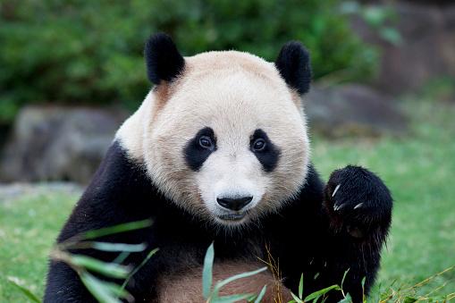 パンダ「Giant panda, Wakayama Prefecture, Honshu, Japan」:スマホ壁紙(10)
