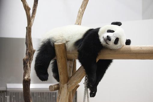 Panda「Giant panda, Wakayama Prefecture, Honshu, Japan」:スマホ壁紙(8)