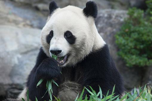 パンダ「Giant panda, Wakayama Prefecture, Honshu, Japan」:スマホ壁紙(16)