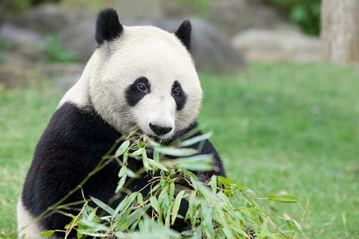 パンダ「Giant panda, Wakayama Prefecture, Honshu, Japan」:スマホ壁紙(18)