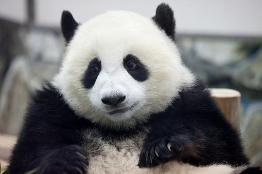 一匹「Giant panda, Wakayama Prefecture, Honshu, Japan」:スマホ壁紙(12)