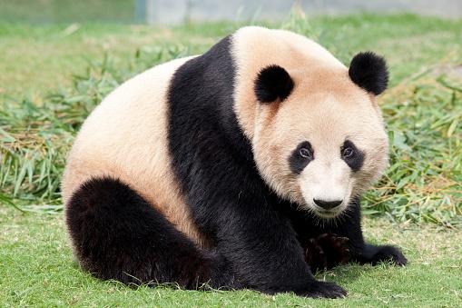 パンダ「Giant panda, Wakayama Prefecture, Honshu, Japan」:スマホ壁紙(6)