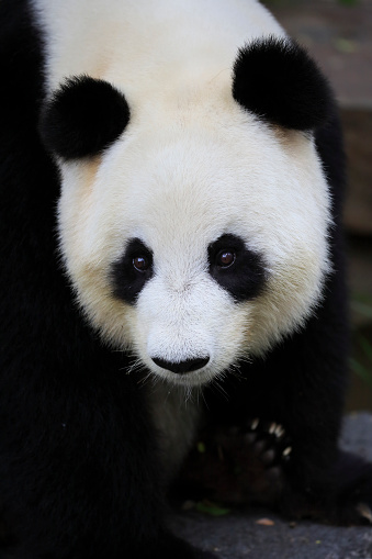 パンダ「Giant Panda, (Ailuropoda melanoleuca)」:スマホ壁紙(18)
