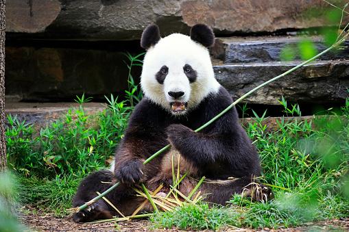 パンダ「Giant Panda, (Ailuropoda melanoleuca)」:スマホ壁紙(14)