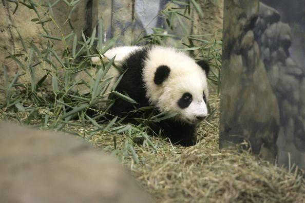 Bear Cub「National Zoo Exhibits Its New Giant Panda Cub」:写真・画像(9)[壁紙.com]