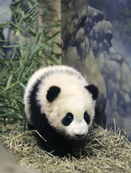 Bear Cub「National Zoo Exhibits Its New Giant Panda Cub」:写真・画像(10)[壁紙.com]