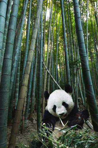 Panda「Giant Panda in Bamboo Forest」:スマホ壁紙(19)
