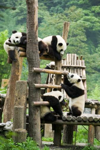 パンダ「Giant panda, China」:スマホ壁紙(12)