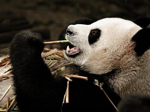 パンダ「ジャイアントパンダ広々としたお食事をお楽しみください。」:スマホ壁紙(19)
