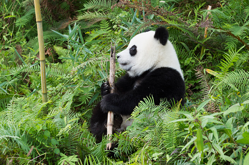 パンダ「Giant Panda」:スマホ壁紙(5)