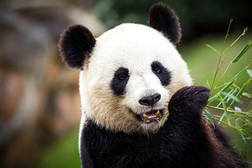 Animal Head「Giant panda」:スマホ壁紙(15)