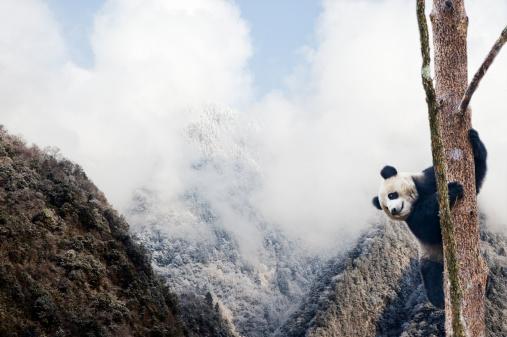パンダ「Giant panda climbing a tree」:スマホ壁紙(18)