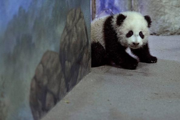David M「Panda Cub Bao Bao Makes Her Debut At Washington's National Zoo」:写真・画像(6)[壁紙.com]