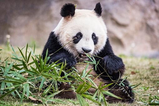 Panda「Giant panda bear eating bamboo」:スマホ壁紙(0)