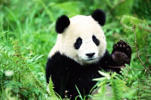 Panda「Giant Panda (Ailuropoda melanoleuca)」:スマホ壁紙(9)