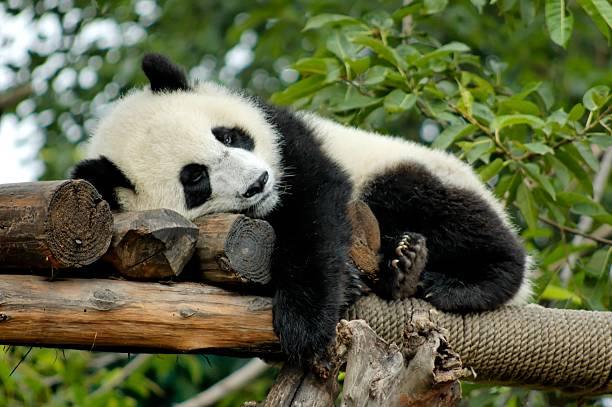 パンダを誇ります。:スマホ壁紙(壁紙.com)