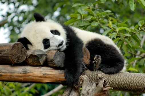 パンダ「パンダを誇ります。」:スマホ壁紙(5)