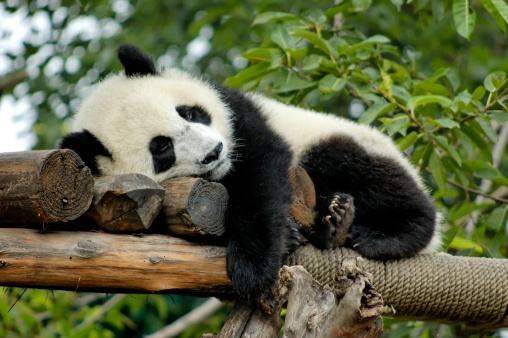 Panda「Giant Panda resting」:スマホ壁紙(6)