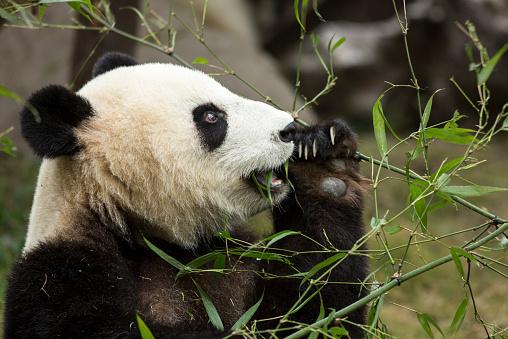 Eating「Giant Panda, Chengdu, Sichuan Province, China」:スマホ壁紙(2)