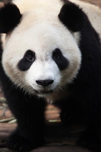 パンダ「Giant Panda」:スマホ壁紙(19)