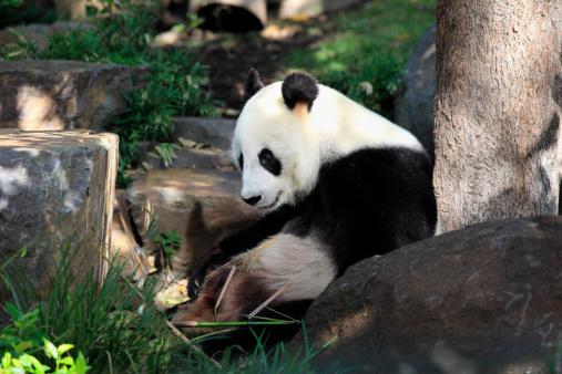 パンダ「Giant Panda (Ailuropoda melanoleuca)」:スマホ壁紙(10)