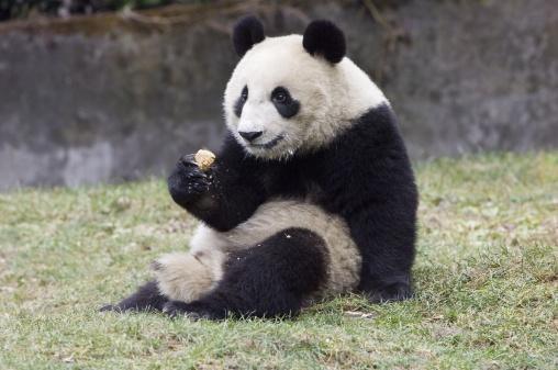 パンダ「Giant Panda, Ailuropoda melanoleuca, Juvenile eating food supplement, Wolong Giant Panda Research Center, Wolong National Nature Reserve, China, captive」:スマホ壁紙(18)