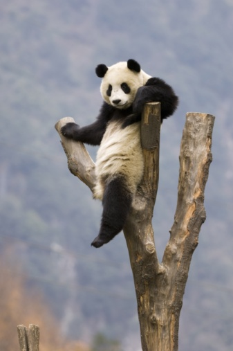 Panda「Giant Panda, Ailuropoda melanoleuca, adult in tree, Wolong Giant Panda Research Center, Wolong National Nature Reserve, China, captive」:スマホ壁紙(12)