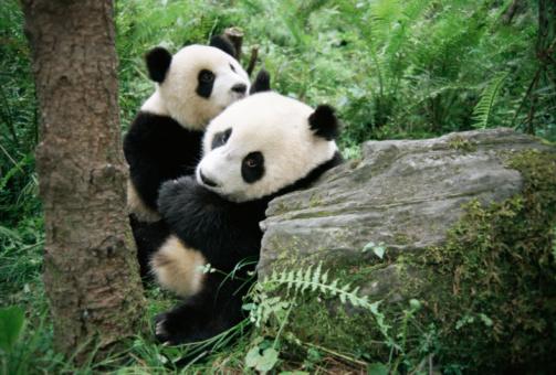 Bear Cub「Giant panda cubs (captive)」:スマホ壁紙(7)