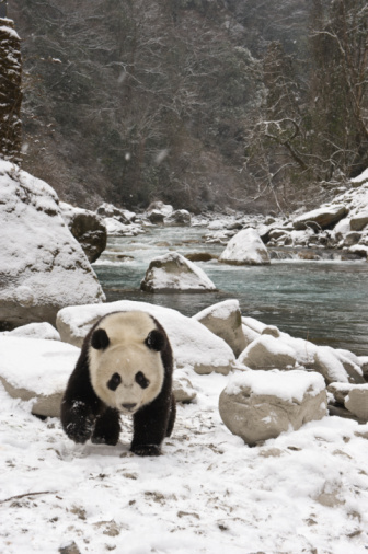 Sichuan Province「Giant panda walking in the snow by a river」:スマホ壁紙(10)