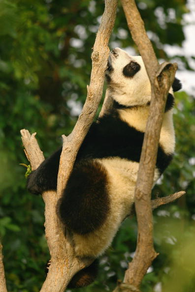 Bear Cub「Pandas On Show At China's Largest Breeding Programme」:写真・画像(13)[壁紙.com]