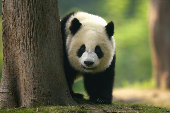 Bear Cub「Pandas On Show At China's Largest Breeding Programme」:写真・画像(12)[壁紙.com]