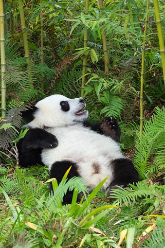 パンダ「Giant Panda」:スマホ壁紙(6)