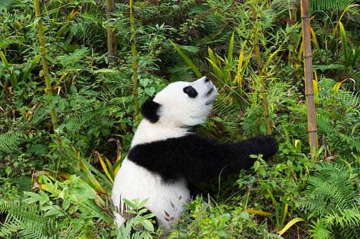 パンダ「Giant Panda」:スマホ壁紙(7)