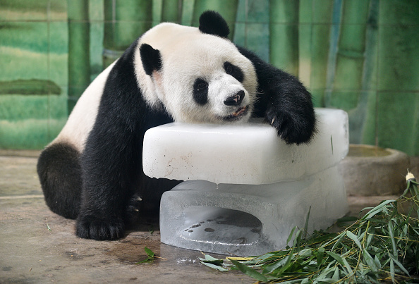 動物「Panda Keeps Cool In Summer Heat」:写真・画像(7)[壁紙.com]