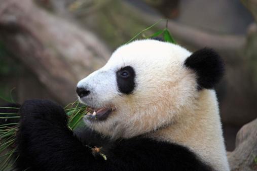 パンダ「Giant panda」:スマホ壁紙(15)