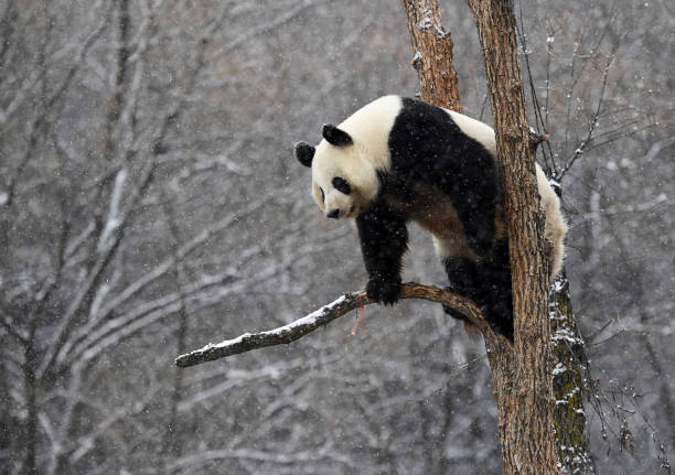 Giant Pandas Play In Changchun's First Snow:ニュース(壁紙.com)