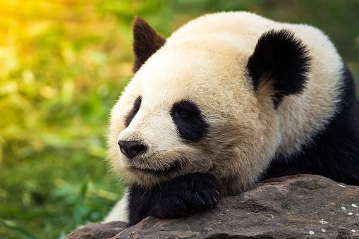 Panda「Giant panda」:スマホ壁紙(14)