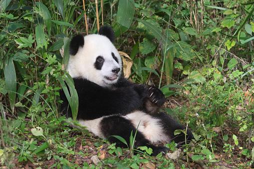 パンダ「Giant Panda」:スマホ壁紙(2)