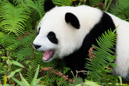 パンダ「Giant panda」:スマホ壁紙(8)