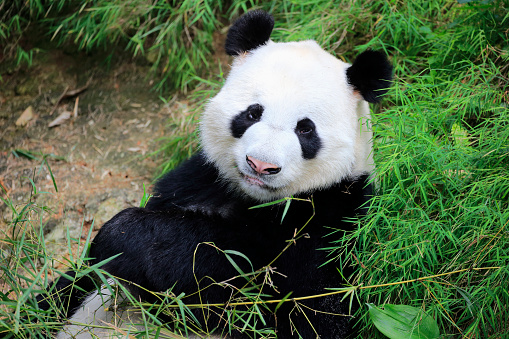 パンダ「Giant Panda, (Ailuropoda melanoleuca)」:スマホ壁紙(11)