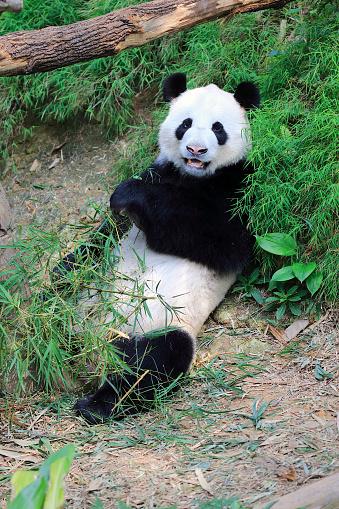 パンダ「Giant Panda, (Ailuropoda melanoleuca)」:スマホ壁紙(1)