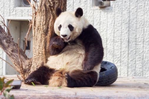 パンダ「Giant panda」:スマホ壁紙(16)