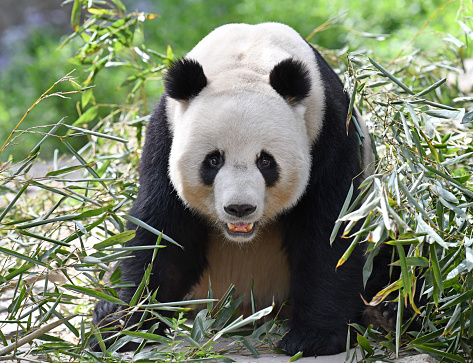 Panda「giant panda」:スマホ壁紙(16)