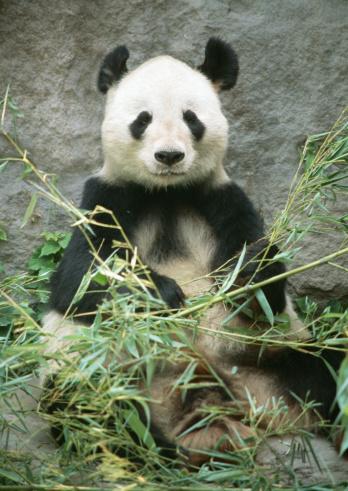 パンダ「Giant panda」:スマホ壁紙(11)