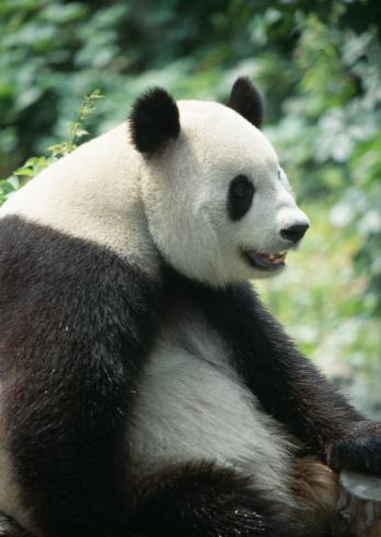 パンダ「Giant panda」:スマホ壁紙(14)