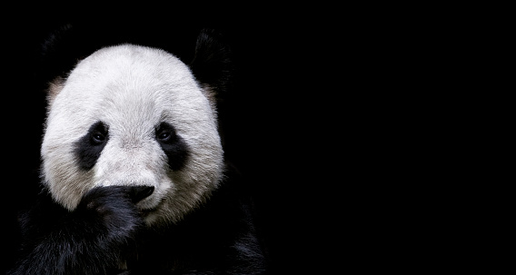 Endangered Species「Giant Panda」:スマホ壁紙(4)