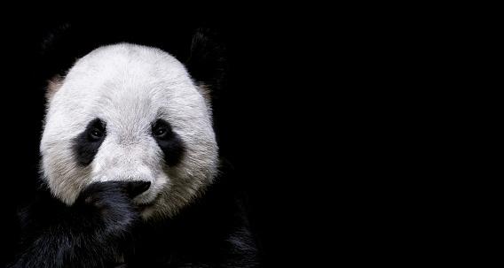 Animal Wildlife「Giant Panda」:スマホ壁紙(6)