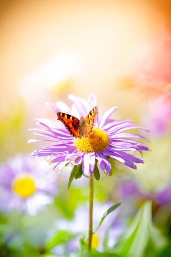昆虫「コヒオドシ pollinating デイジーの花の牧草地」:スマホ壁紙(15)