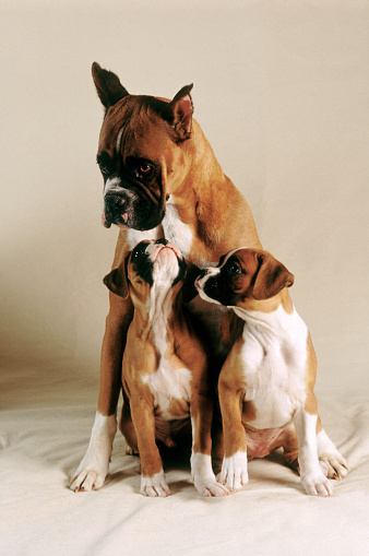 Animal Family「Boxer Puppies with Mother」:スマホ壁紙(9)